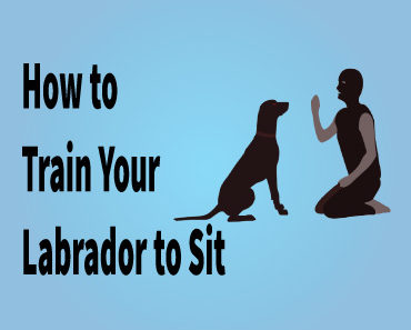 Training your Labrador to sitdown