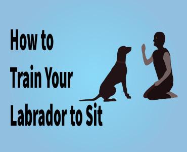 Training your Labrador to sitdown